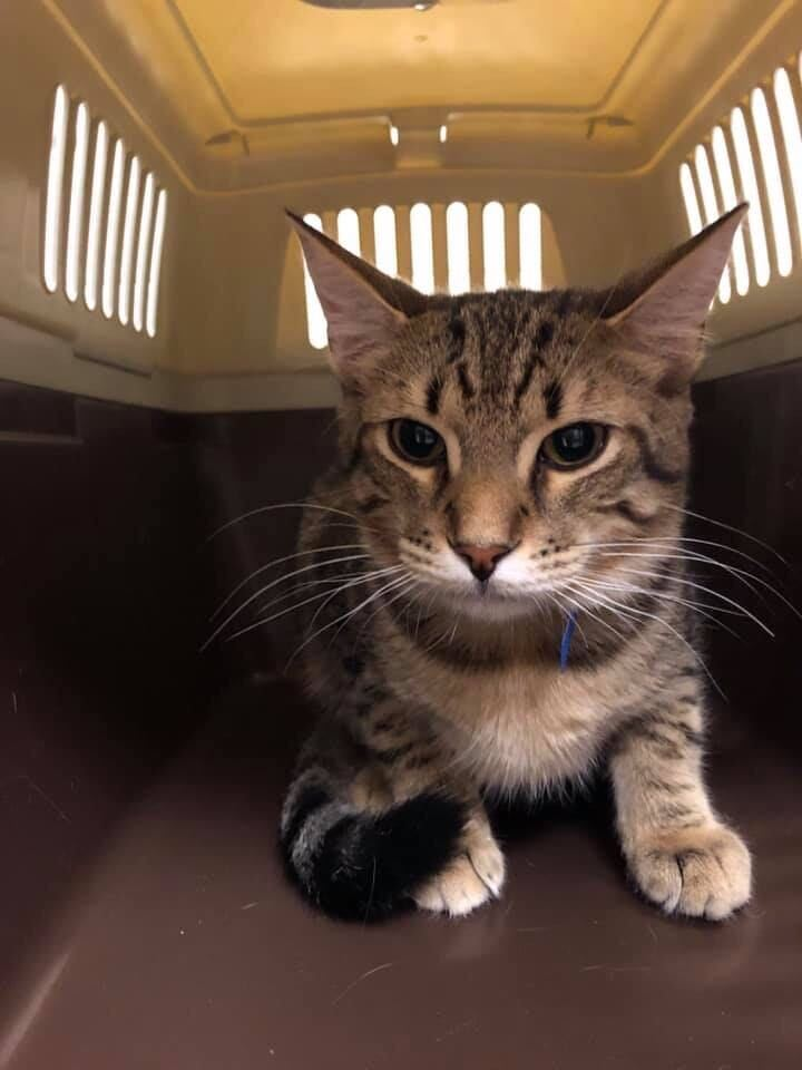 Florida cat soon available for adoption in Wisconsin