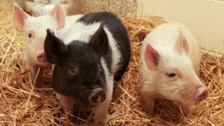 Piglets rescued Rouge Park
