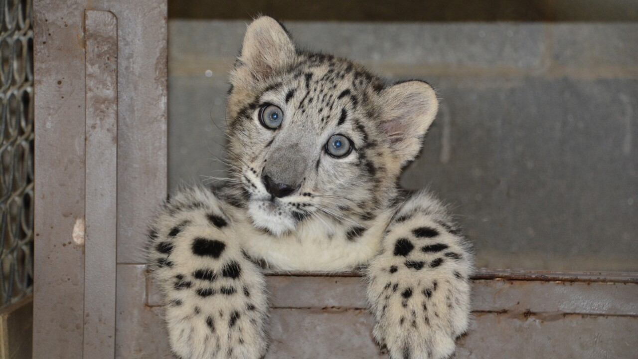 Snow Leopard Cubs on exhibit for first time at Metro RichmondZoo