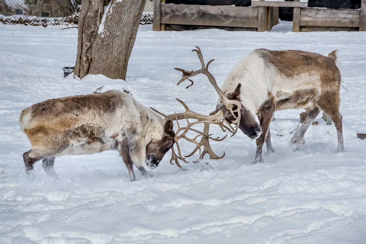Caribou 01-2018-8873 E.jpg