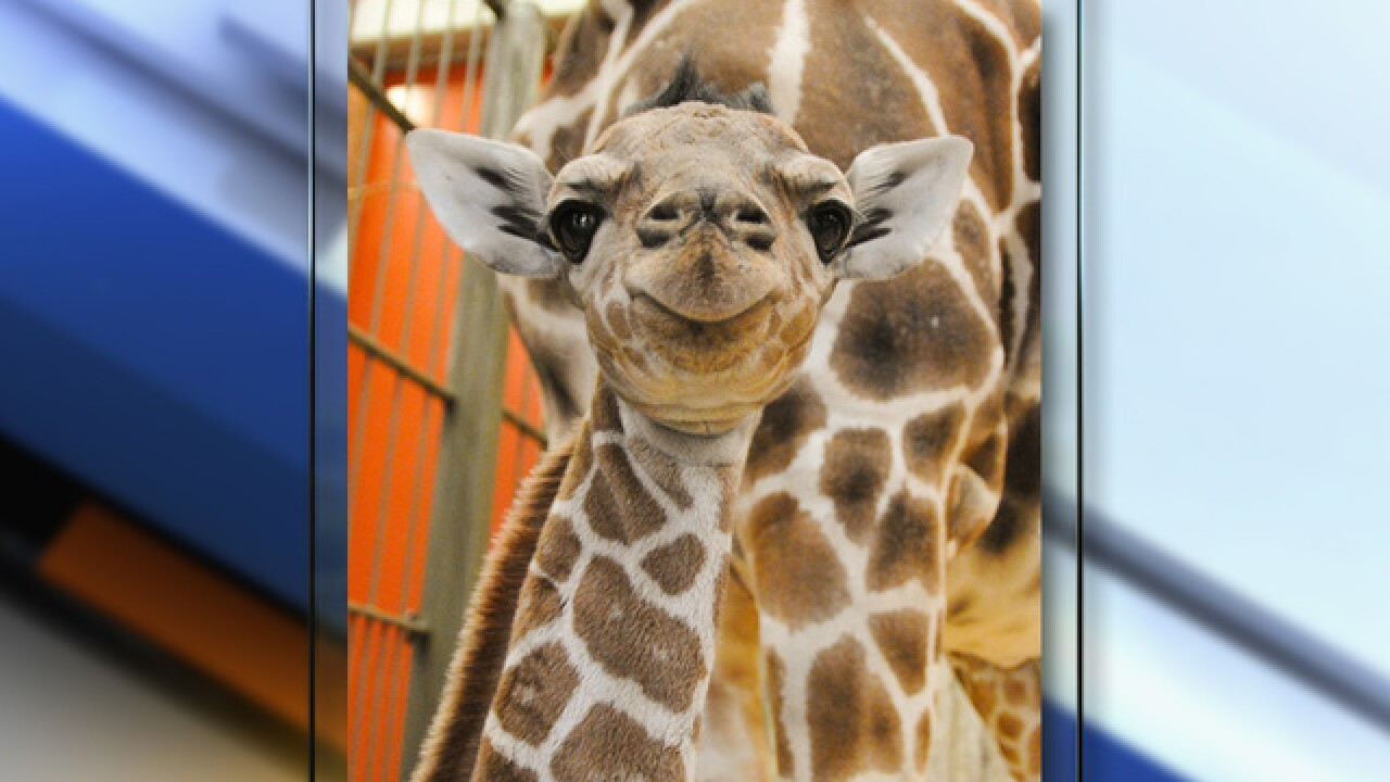 Baby giraffe Dobby makes public debut at Denver Zoo following health scare