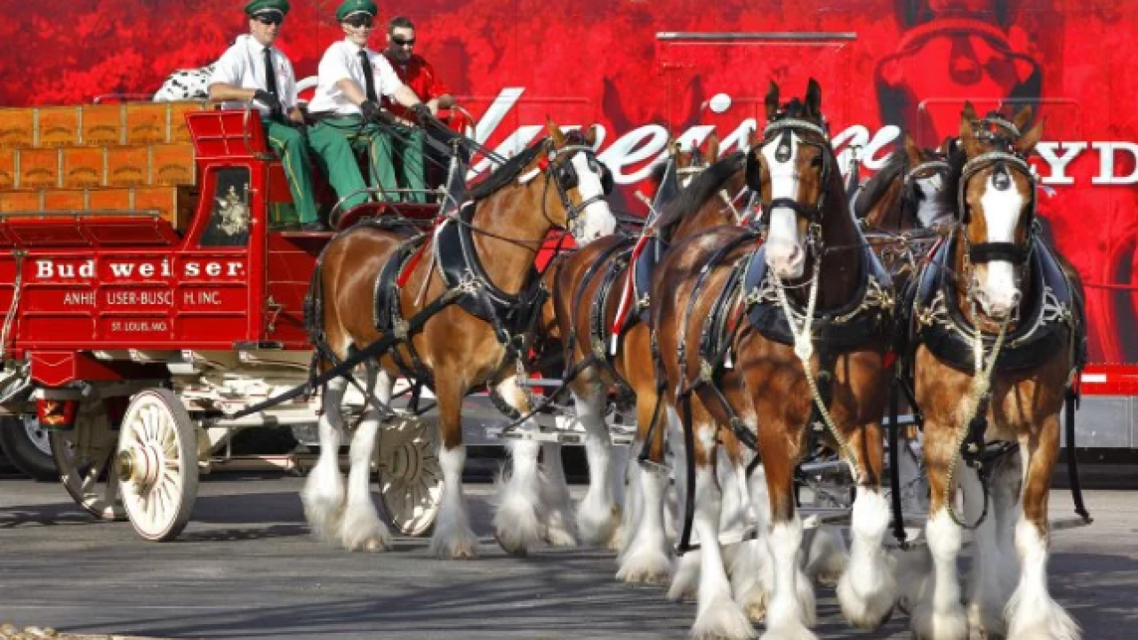 Watch: Famous Budweiser Clydesdales visit Chesapeake