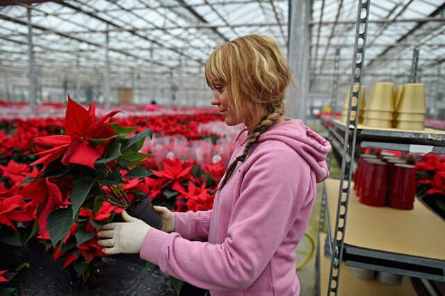National Poinsettia Day: Dec. 12