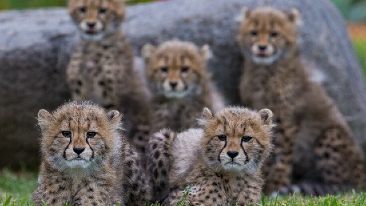 Cheetah cubs born at SD Zoo now on exhibit