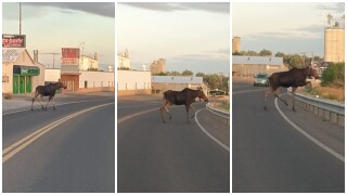 Wandering moose captured safely in Great Falls (video)