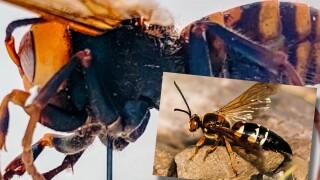 Cicada Killers Mistaken for Murder Hornets