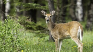 Deadly 'zombie' deer disease could eventually spread to humans, expertswarn