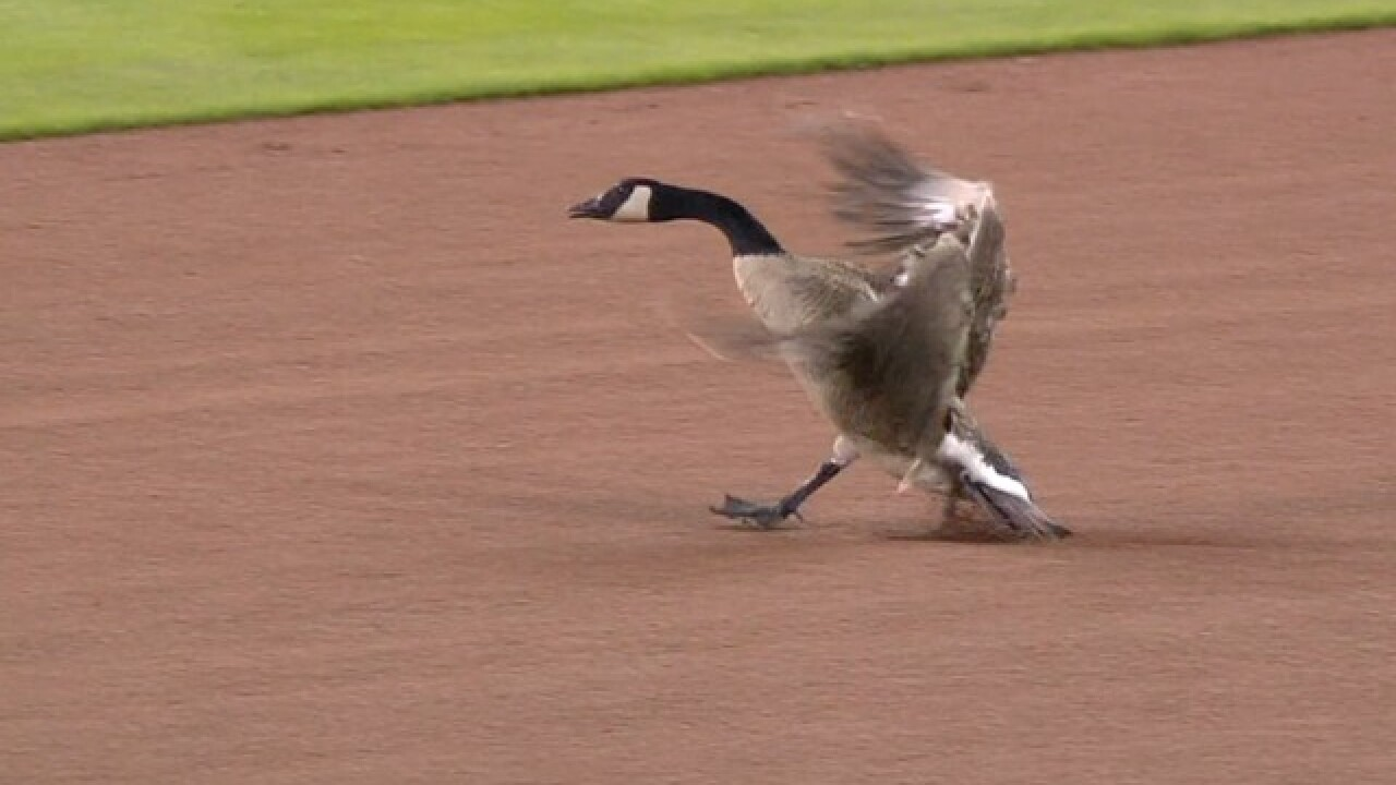 Goose apparently fine after crashing into Comerica Park scoreboard