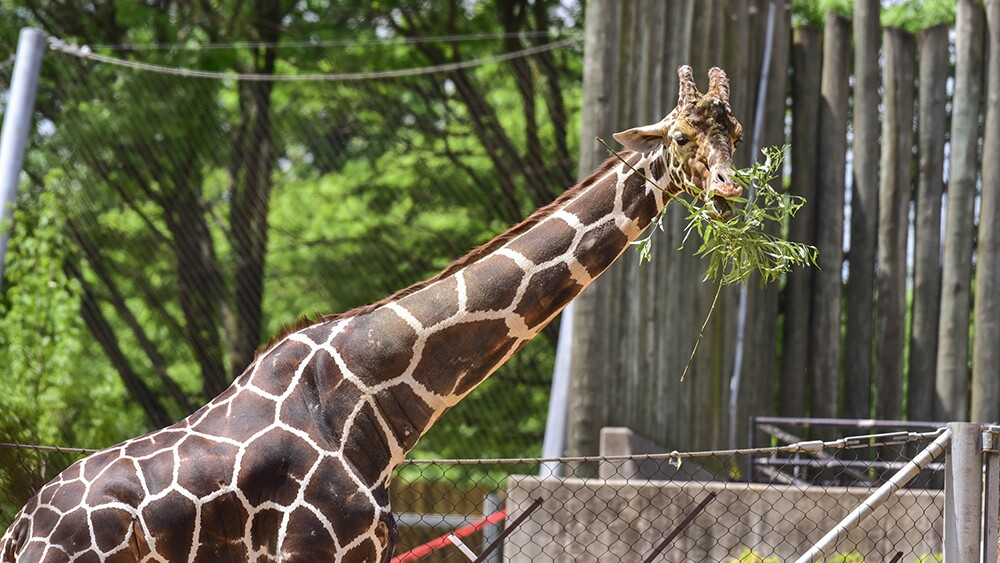 Caesar the giraffe at The Maryland Zoo (2).jpg