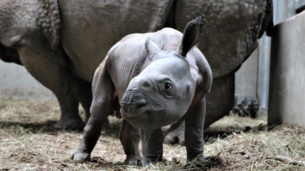 Henry Doorly Zoo Calf Rhino