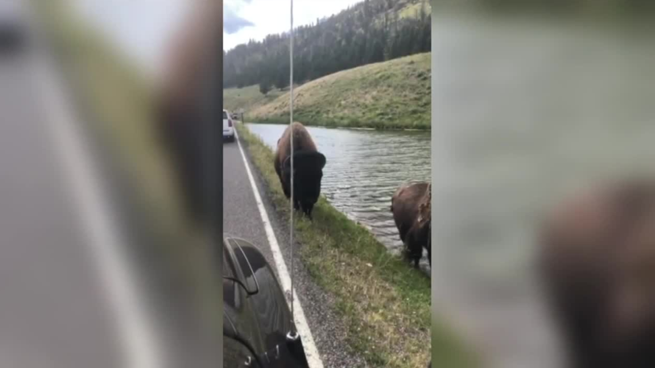 Video Extra: Yellowstone bison charges car, pops tire