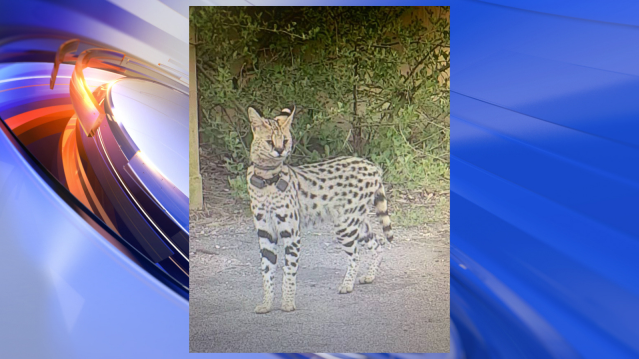 Animal Control on the lookout for exotic cat on the loose in VirginiaBeach