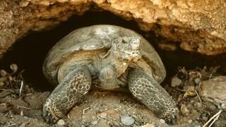 Dozens of Sonoran desert tortoises up for adoption in Arizona