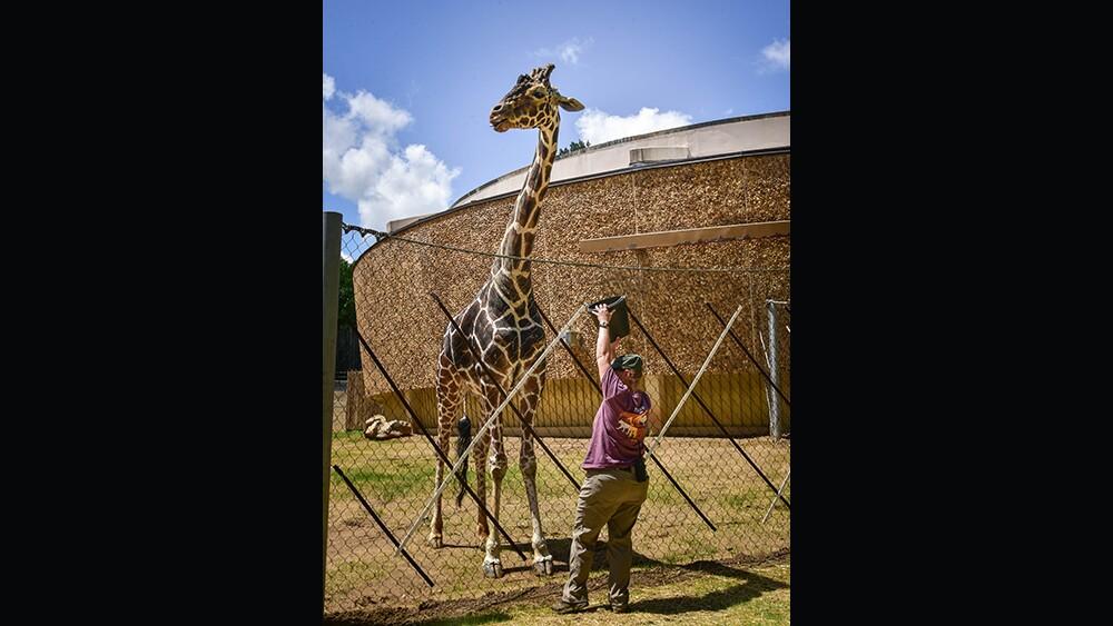 Caesar the giraffe at The Maryland Zoo (6).jpg