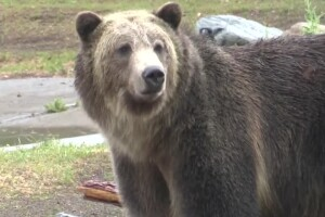 Badly-behaving grizzly gets second chance in W. Yellowstone