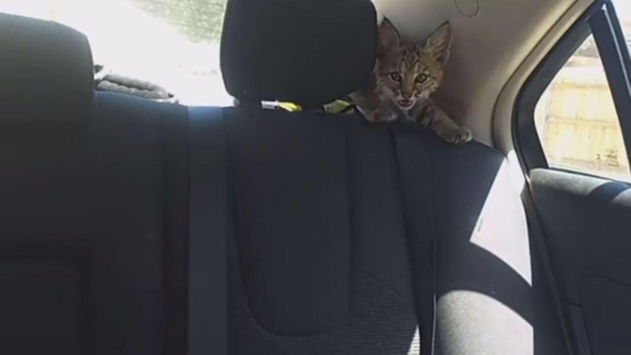 Bobcat in car pueblo