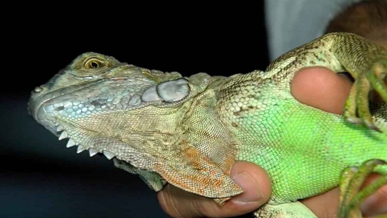 wptv-iguana2.jpg