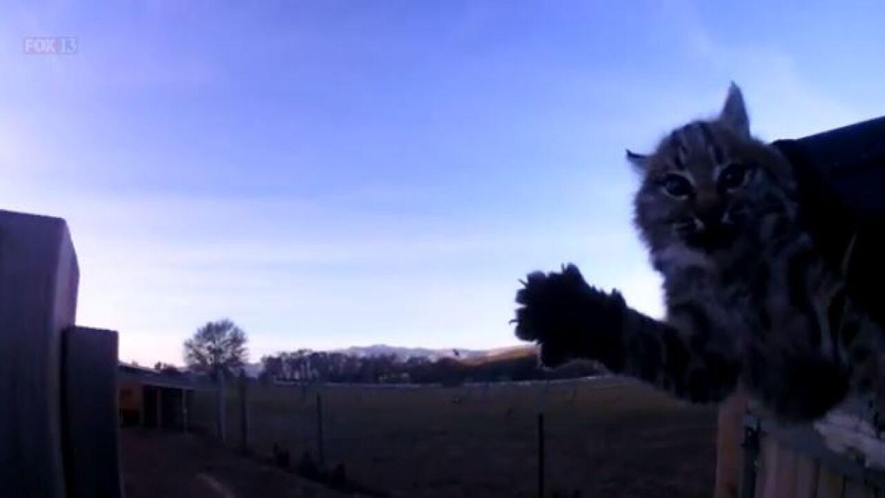 Video: Utah deputy captures baby bobcat found enjoying warmth in chickencoop