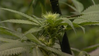 Montana campaign over marijuana legalization measures taking shape