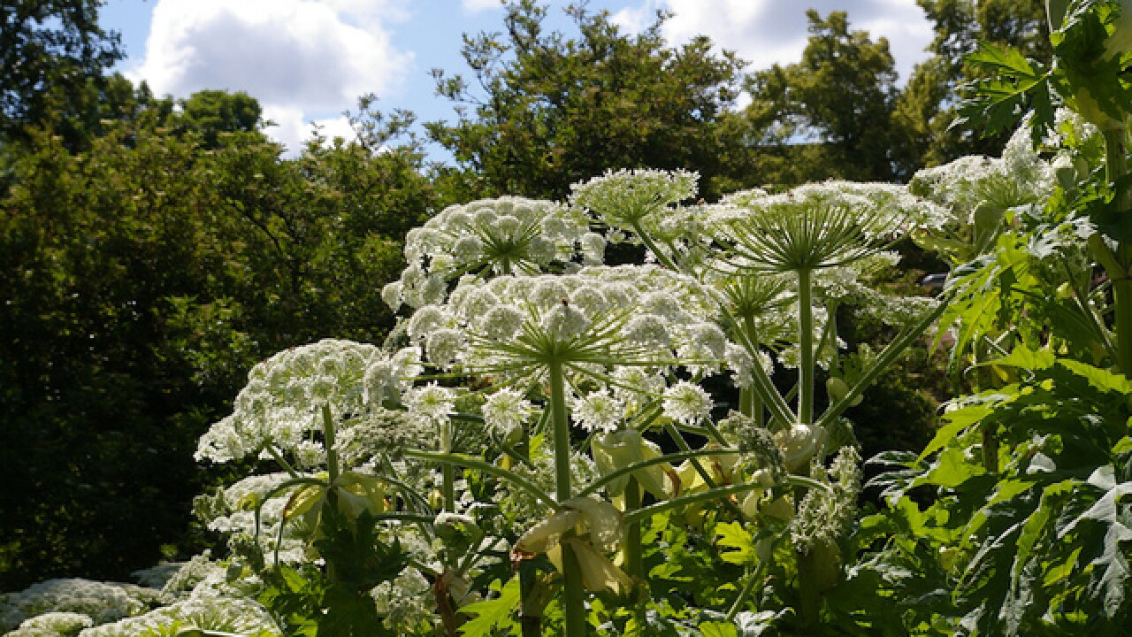 Should you be worried about Giant Hogweed?
