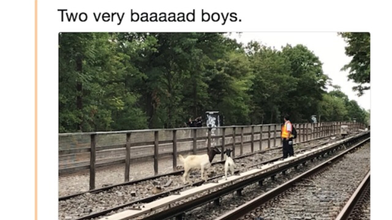 A baaaaaaaad commute: Goats on track cause delays for New York subway