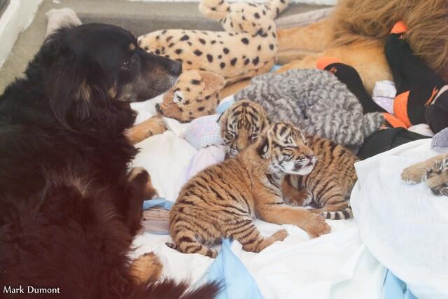 Cincinnati Zoo's Australian shepherd acts as nanny for rare Malayan tiger cubs