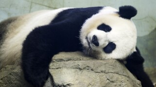 Baby panda could be on the way, mom appears to be in labor