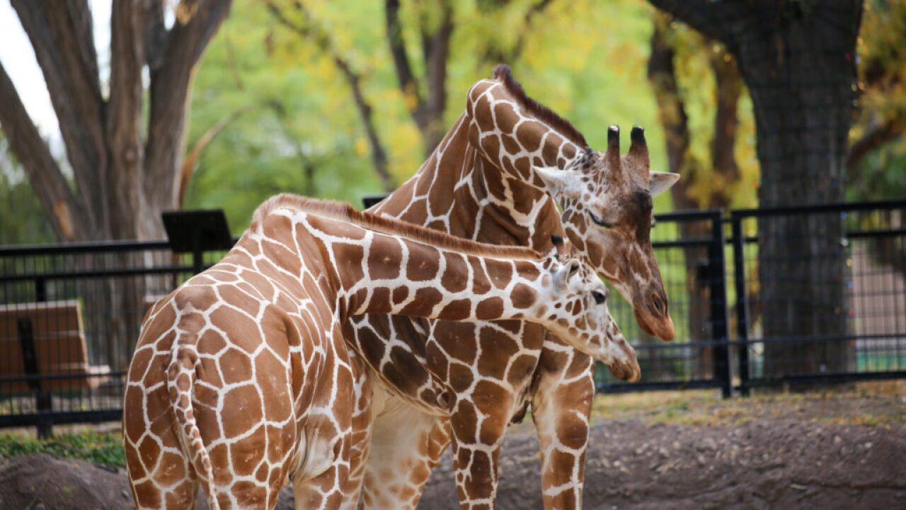 A Reid Park Zoo giraffe named Denver was euthanized at age 32. Photo via Reid Park Zoo.