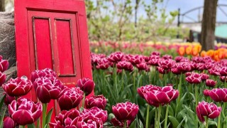 Red Door and Tulips