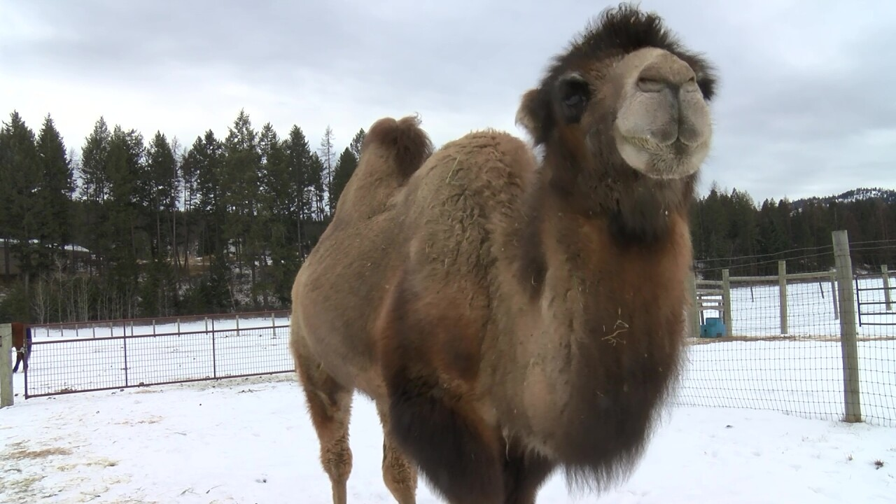 Carlos is the ranch's Bactrian camel