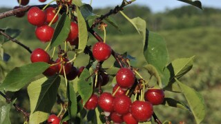 Coronavirus helping Michigan cherry farmers