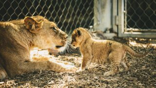 Lion Cub_Molly McCormick.jpg