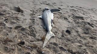 WPTV-DELRAY-BEACH-DEAD-SHARK-2.jpg