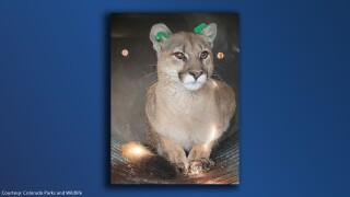 mountain lion captured in englewood.jpg