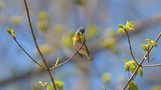 One of the side effects that COVID-19 lockdowns had on the environment: the sounds of nature - like birds chirping - became far more apparent, especially for people who live in cities.