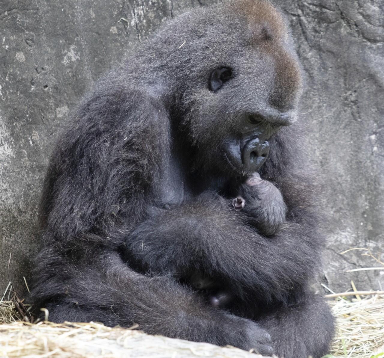 Endangered Gorilla Baby Dies