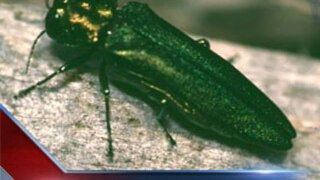 Wisconsin officials impose statewide ash borer quarantine