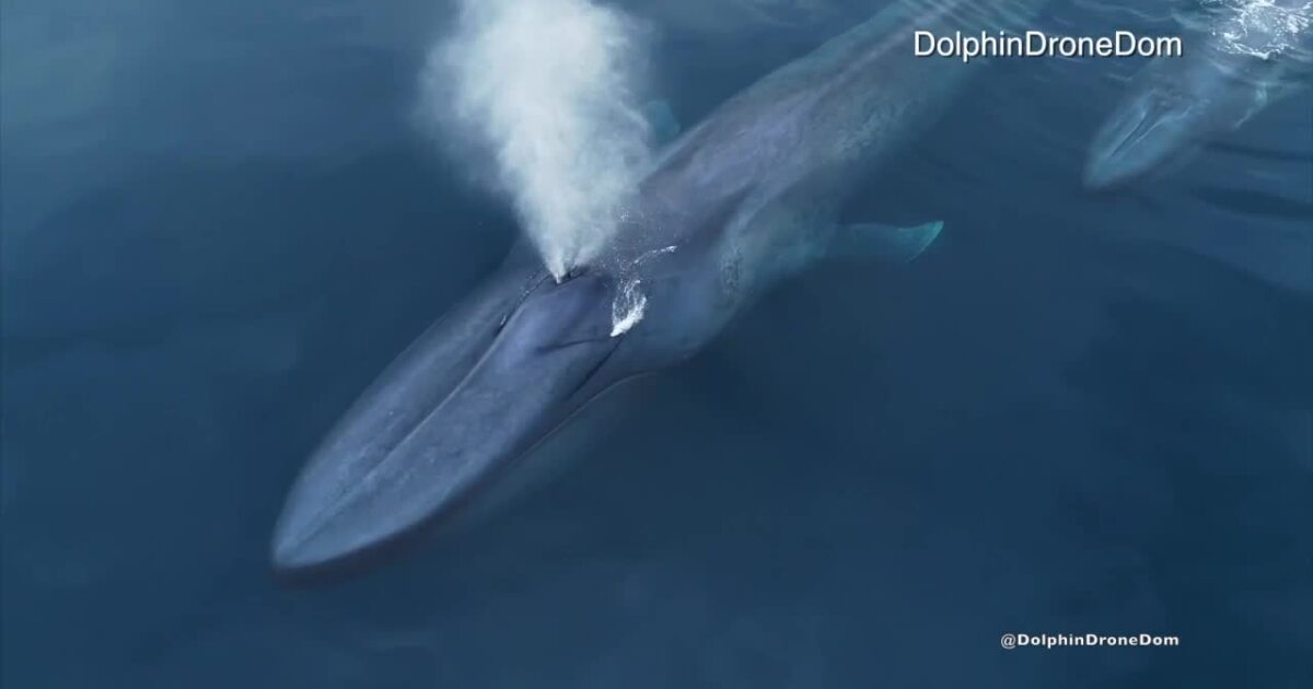 Video: Rare blue whale with calf spotted off San Diego coast