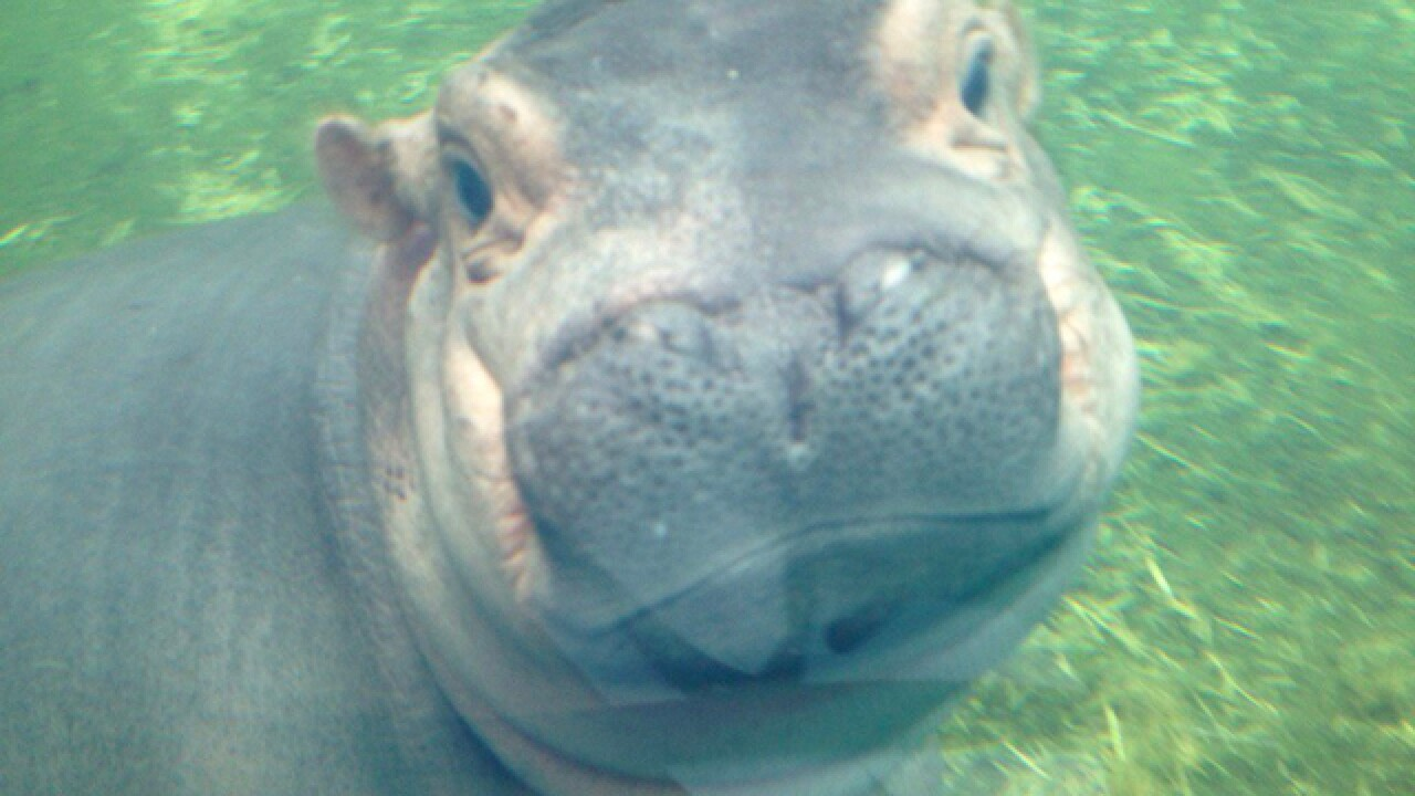 WATCH: Fiona explores the big hippo pool