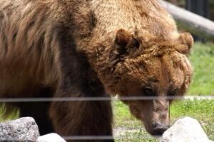 Grizzly Bear.jpg