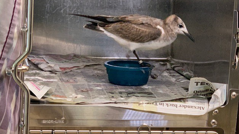 LAUGHING-GULL-000.png