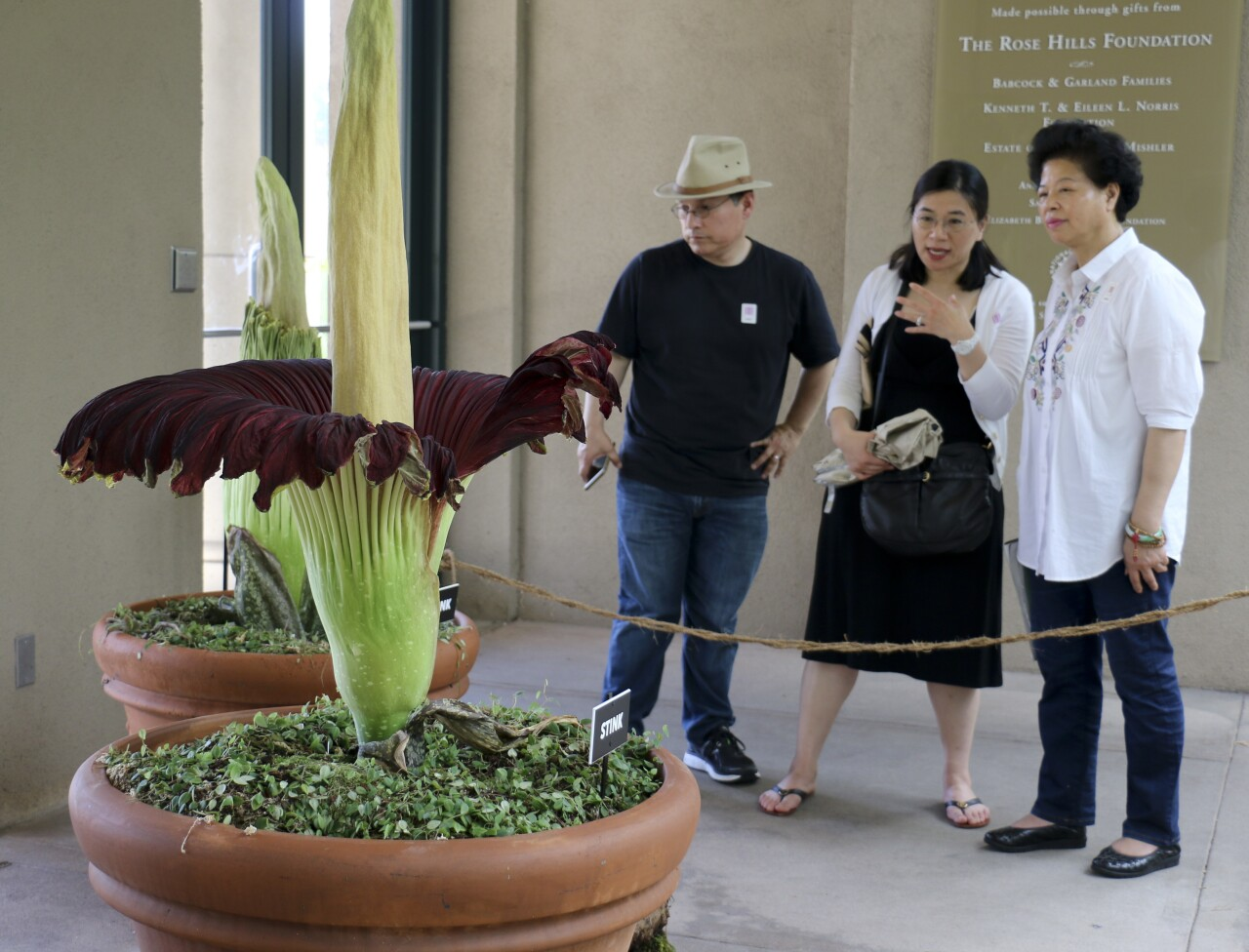 For The Fourth Time In 25 Years, Corpse Flower At