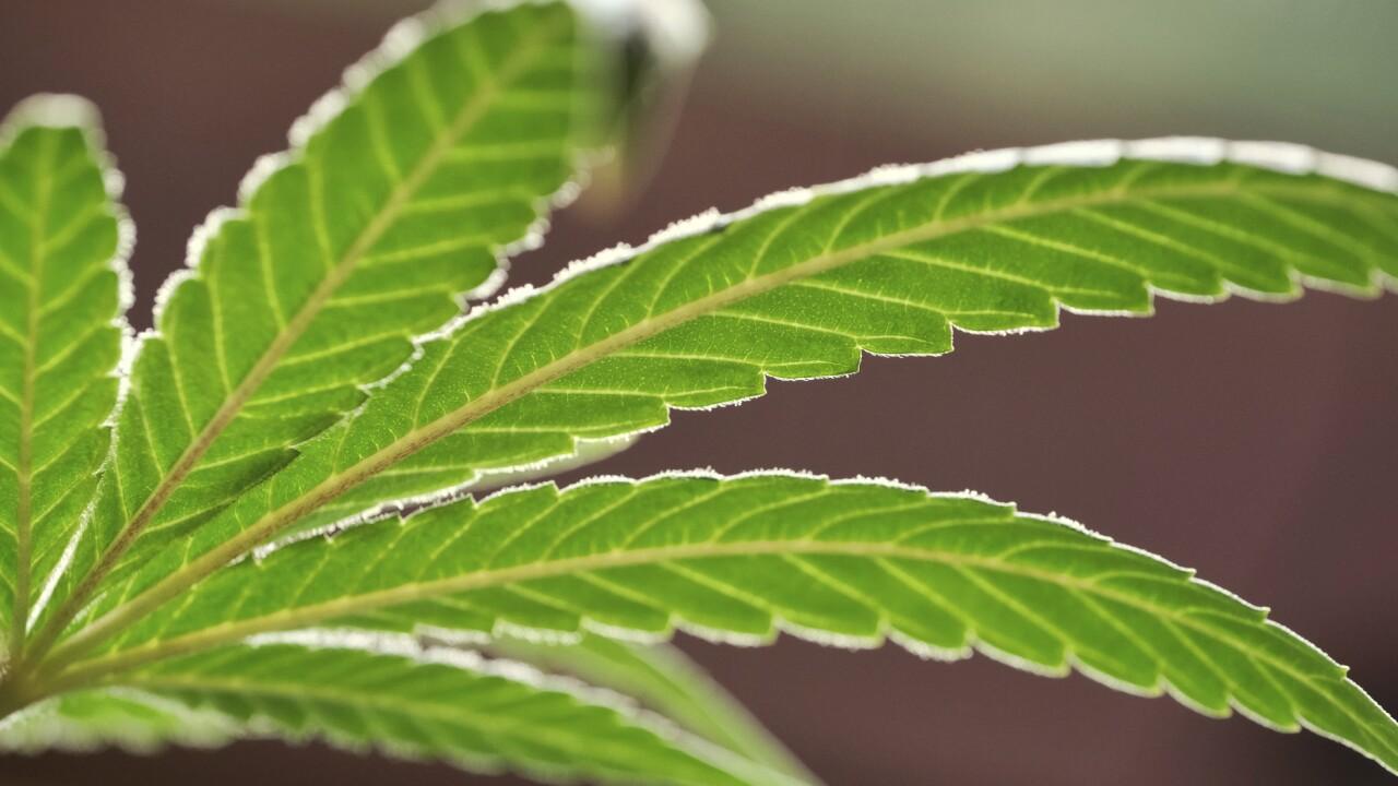 marijuana weed pot AP