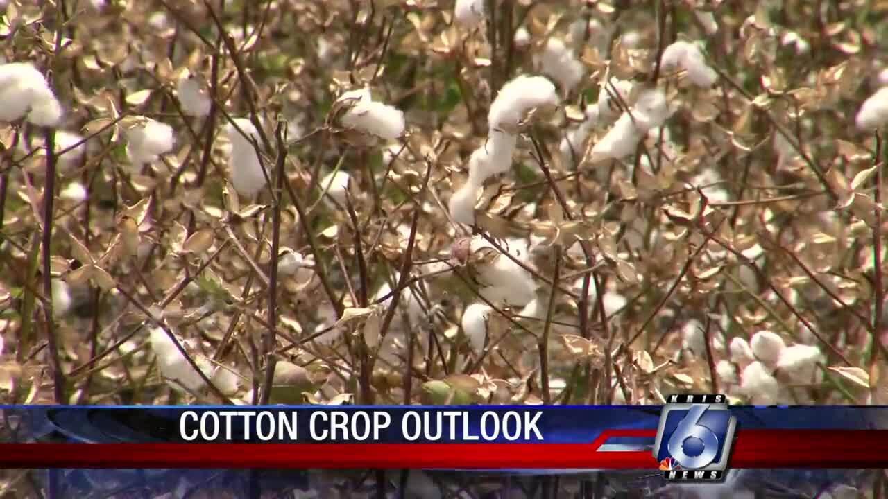 cotton_0807.jpg
