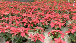 Family-owned nursery famous for Christmas poinsettias says legacy will live on after father's death