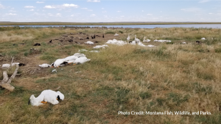 Thousands of birds found dead in Stillwater County following hail storm