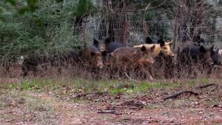 Feral Hogs 1.jpg