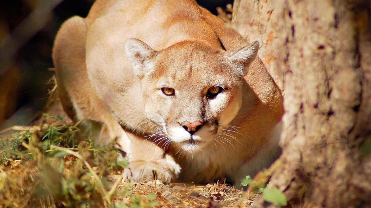 Mountain Lion causes crash in Northern California, injures 9 people