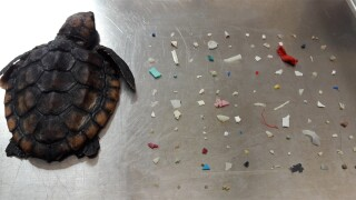 Turtle dies after eating 104 pieces of plastic off South Florida coast, nature center says