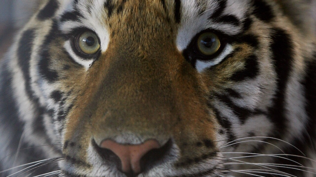 Possible tiger attack at Keepers Of The Wild animal ...